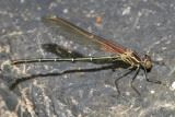 A damselfly on a rough surface